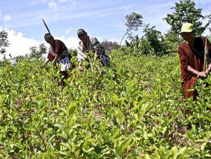 Indígenas asháninkas cosechan hojas de coca en el distrio de Pichari, en el centro de Perú.