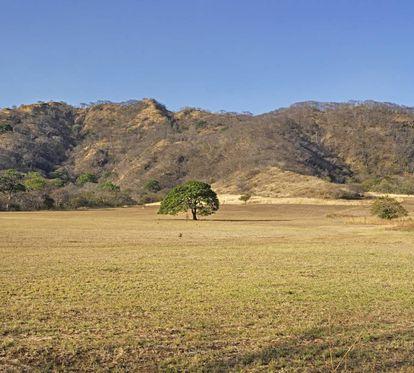 Árbol de guanacaste en Nicoya.