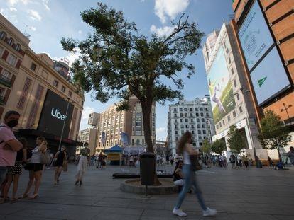 Imponente y solitario se alza el 'Ligustrum lucidum' en el centro de la plaza de Callao, en Madrid.