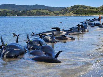 Varias causas conducen a los cetáceos a una muerte agónica en las playas, pero el suicidio no es una de ellas
