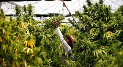 Cultivo de marihuana para uso terapéutico en Nazaret, norte de Israel.