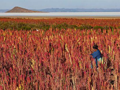 Plantación de quinua en el pueblo boliviano de Jirira.