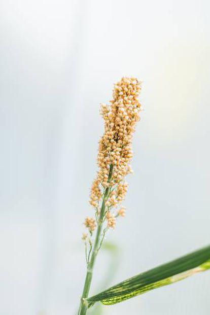 Una planta de sorgo