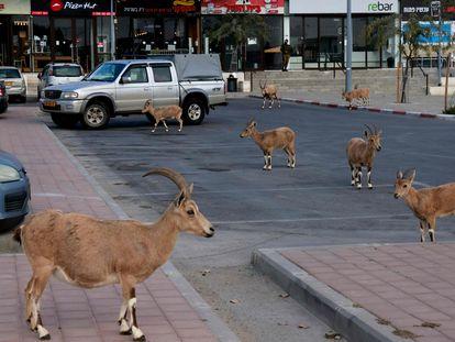Unas cabras caminan por una calle de la ciudad israelí de Mitzpe Ramon el pasado 4 de febrero, durante el confinamiento de la ciudad.