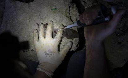 Marc López Roig extrae una muestra de sangre de un murciélago.