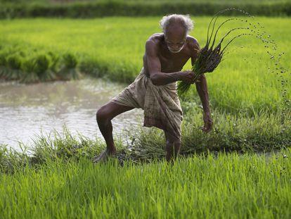 Un granjero trabaja en su campo de arroz en el estado de Gauhati, en India.