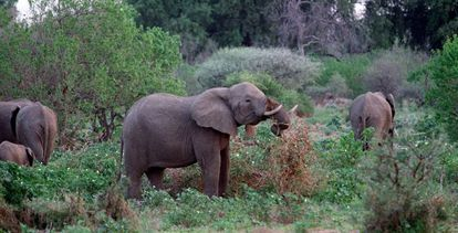 Elefantes hembras en la reserva de Mashatu Game, al noroeste de Botsuana.