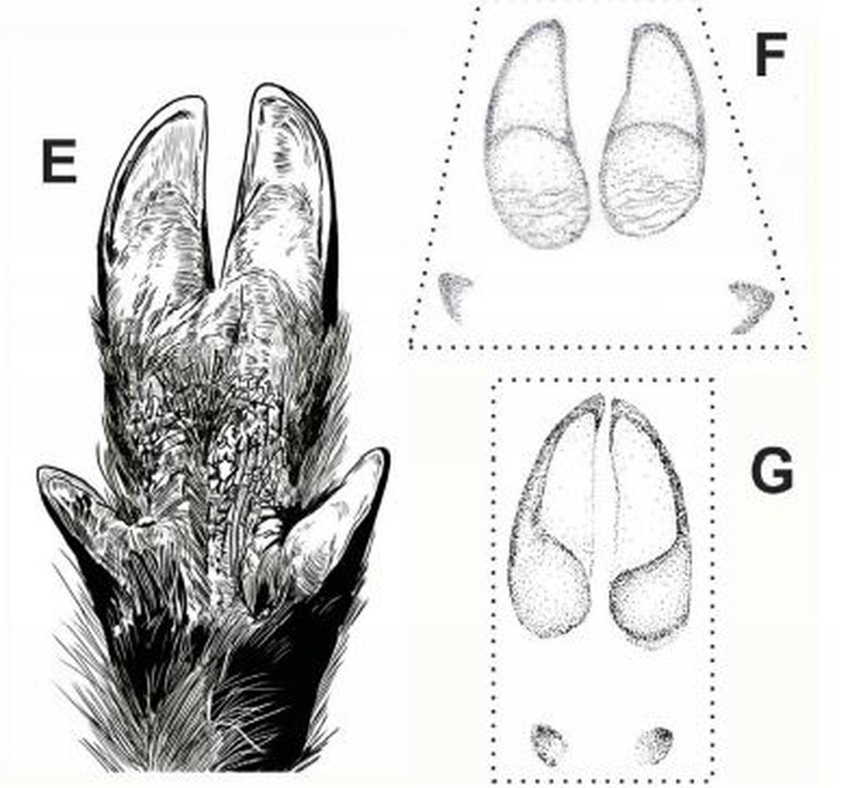 E: Representación de una mano del jabalí a partir de la huella 'Suidichnus galani'. F y G:  Comparación morfológica entre las impresiones de 'Sus scrofa scrofa', y 'Cervus elaphus'