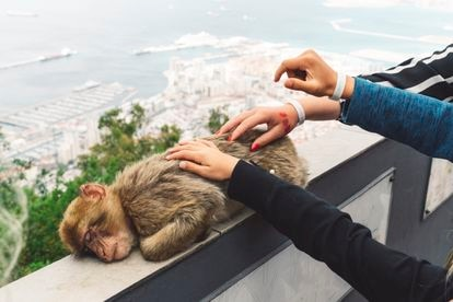 Uno de los monos de Gibraltar, en una imagen de archivo.