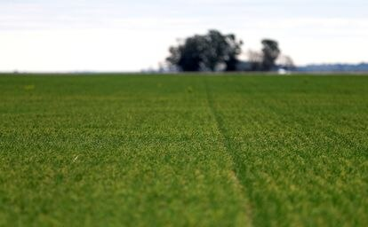 Campo sembrado con trigo en Azul, provincia de Buenos Aires.
