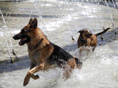 Dos perros juegan dentro de una fuente de la zona de Madrid Río.