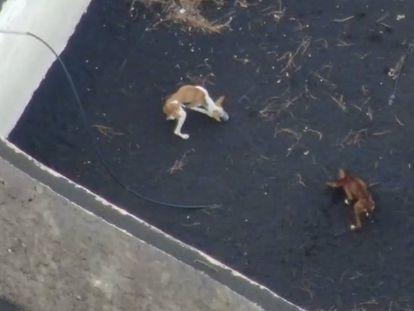 Tres perros en un recinto en el que estaban atrapados por la lava de la erupción de La Palma, la semana pasada.