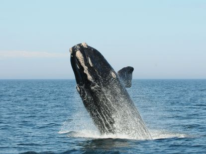 Ballena franca del Atlántico norte, en la bahía de Fundy (Canadá).