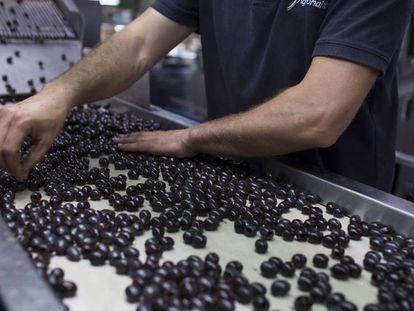 Un trabajador revisa las aceitunas negras de mesa para su envasado.