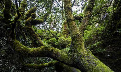 Los antiguos pobladores de El Hierro veneraban un árbol llamado Garoé. El agua se condensaba en sus ramas y luego se destilaba y se guardaba en depósitos en las épocas de sequía.