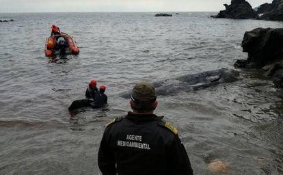 El cachalote que apareció varado en Murcia el pasado 27 de febrero.