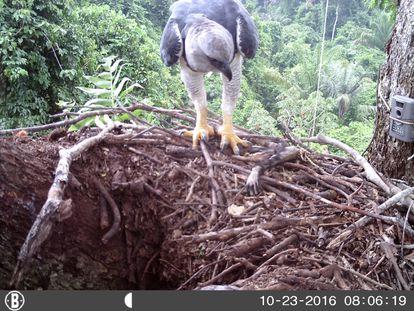 El águila arpía adulta llega con un brazo de mono a un nido monitoreado por una cámara trampa