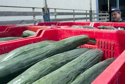 Entrada de pepinos en una cooperativa de El Ejido (Almería), donde se preparara la mercancía para la exportación.