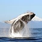 Una ballena jorobada salta desde un volcán en Chile.  R. Hucke-Gaete (UACH / ABC)