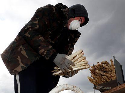 Un agricultor recoge espárragos en Legarda (Navarra).