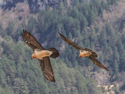 Una pareja de quebrantahuesos en el Parque Nacional de los Picos de Europa.