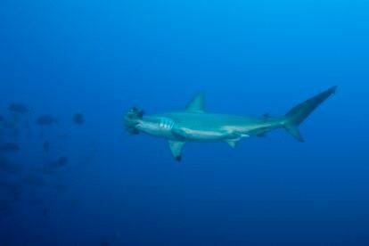 Un tiburón martillo en las Islas de Revillagigedo, en México.