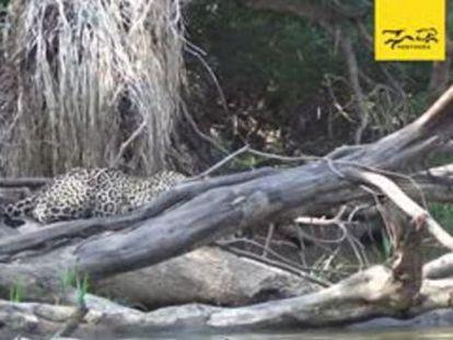 Un vídeo grabado en el Pantanal (Brasil) muestra el susto del felino ante estos animales acuáticos