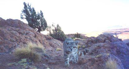 Primera foto de un gato andino con cámara trampa, tomada en Bolivia en 2001.