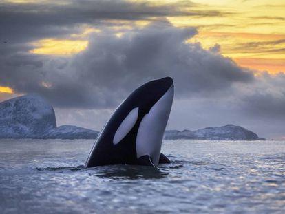 La mitad de las poblaciones de orcas perecen condenadas por los policlorobifenilos (PCB).