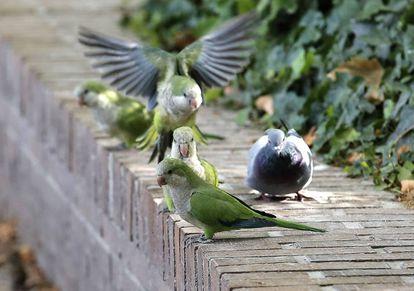 Varias cotorras argentinas junto a una paloma.