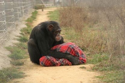 El chimpancé Víctor fue rescatado por el centro de recuperación de primates de la Fundación Mona, en Girona, España. / Fundación Mona.