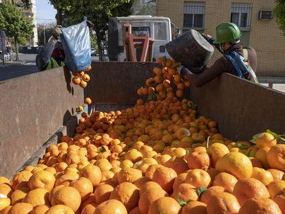 Un grupo de operarios recoge las naranjas de los árboles por la barriada de La Macarena en Sevilla, en marzo.
