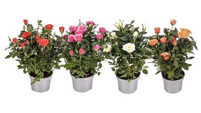 Pack de 4 rosales de colores variados (30 cm. de altura).