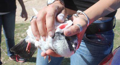 Una animalista recoge una paloma herida tras una tirada.