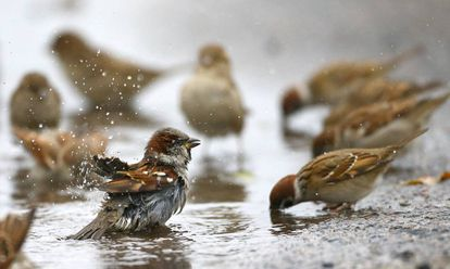 Un grupo de gorriones se lavan y beben agua de un charco.