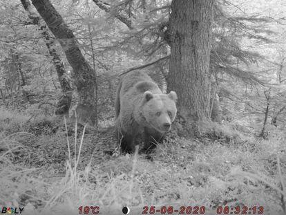Un oso en la Valle de Arán.