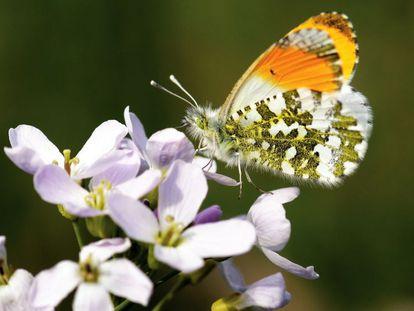 La mariposa aurora o mariposa musgosa (Anthocharis cardamines).