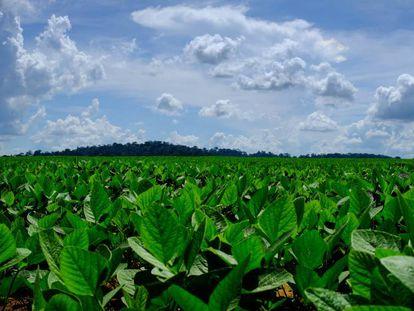 Plantaciones de soja en un campo a las afueras de Sinop donde, al fondo, se otea el remanente de selva amazónica.