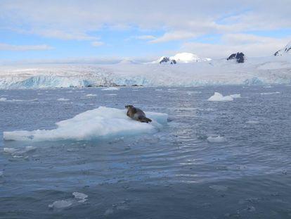 Una foca descansa sobre un témpano de hielo en la costa de Isla Livngston, en la Antártida.
