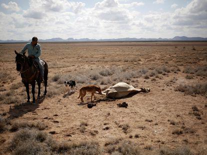 Un agricultor observa una vaca muerta a causa de la sequía que desde el año pasado afecta al Estado de Chihuahua.