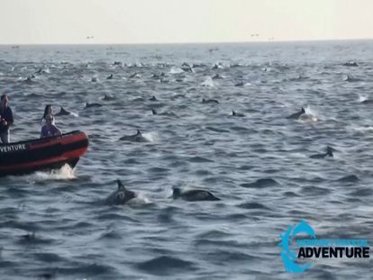 Cientos de delfines nadan juntos en la costa de California