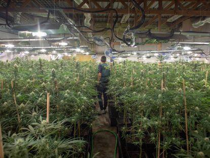 La Guardia Civil desmantela una plantación de marihuana en una nave que se dedicaba anteriormente al cultivo de flores.