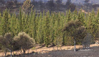 Barrera de cipreses en Andilla, que apenas fueron quemados por el fuego