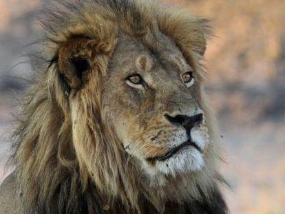 Su muerte hace un año trajo progresos para los leones pero su principal amenaza sigue diezmándolos