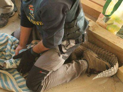 Un agente del Seprona con un caimán en una operación contra el tráfico de reptiles.