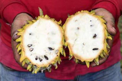Fruta de 'Annona mucosa', una especie domesticada por los indígenas.