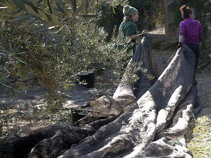 Dos mujeres en la campaña de la aceituna en Jaén.