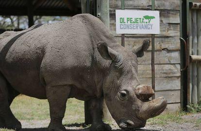 Sudán, el último rinoceronte blanco del norte que queda en el mundo, en una foto el pasado mayo en la reserva natural keniana de Ol Pejeta-