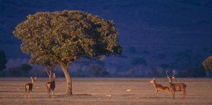 Ciervos rojos en el Parque Nacional de Cabañeros (Ciudad Real) .