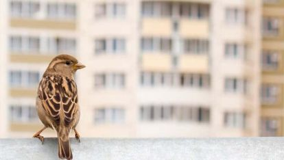 Un gorrión en una terraza en la ciudad.